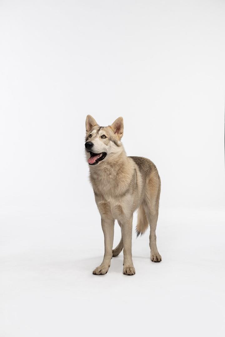 Rollo il cane dei Fraser in Outlander