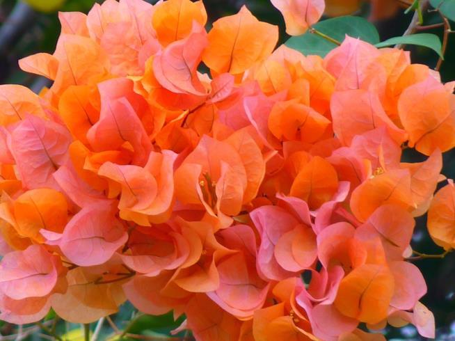 Una bouganville arancione