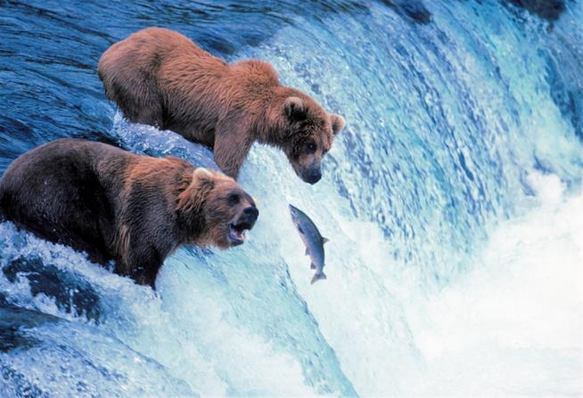 Orsi bruni in Alaska