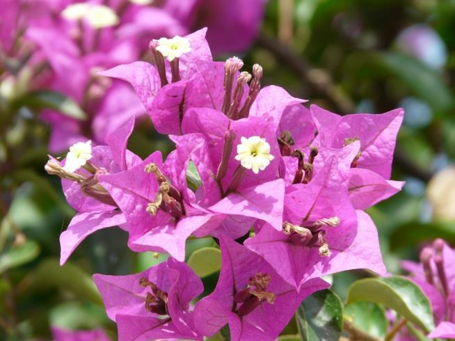 La bouganville lilla