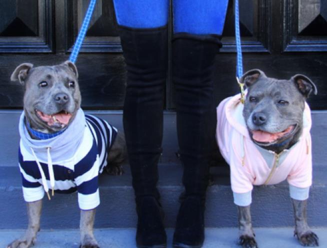 Padrona tiene al guinzaglio due cani Pit Bull