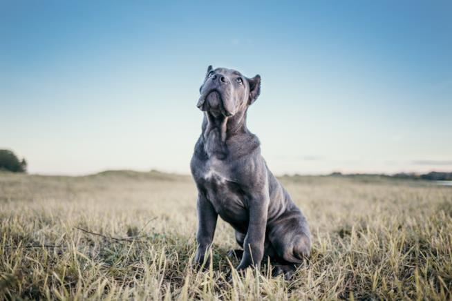 Un giovane esemplare di cane corso grigio