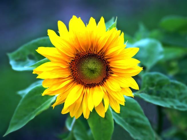 Il significato simbolico del fiore di girasole