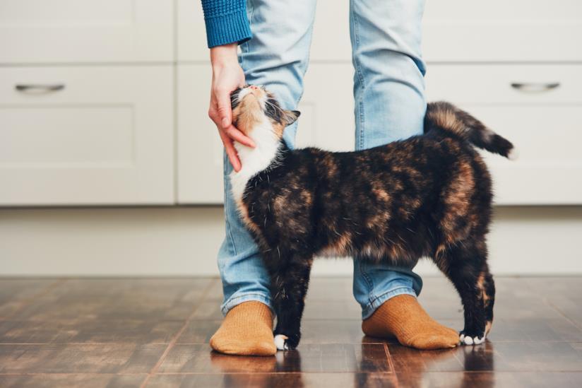 Un gatto si struscia contro le gambe del padrone