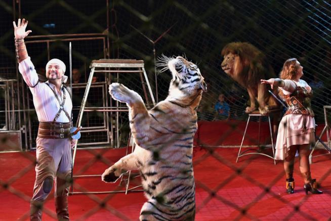 Un domatore con una tigre in posa durante un numero al circo