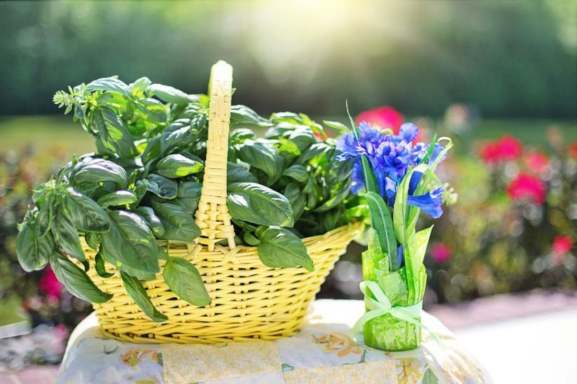 Basilico raccolto
