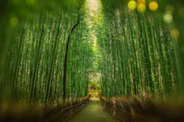 La foresta di bambù di Arashiyama, nei pressi di Kyoto