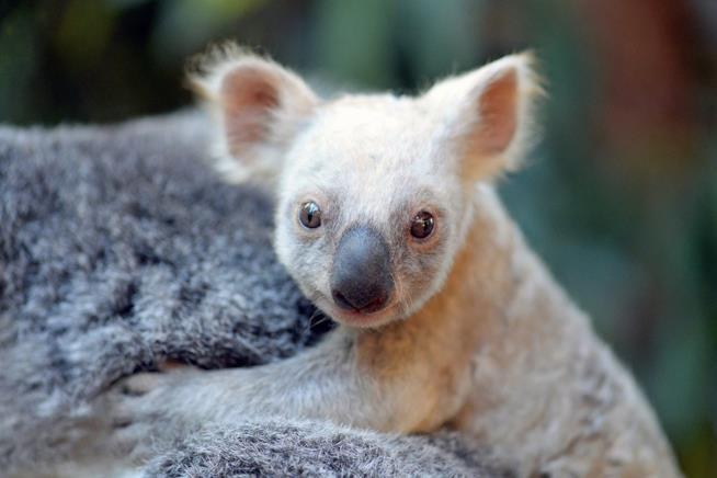 Un cucciolo di koala dal pelo bianco