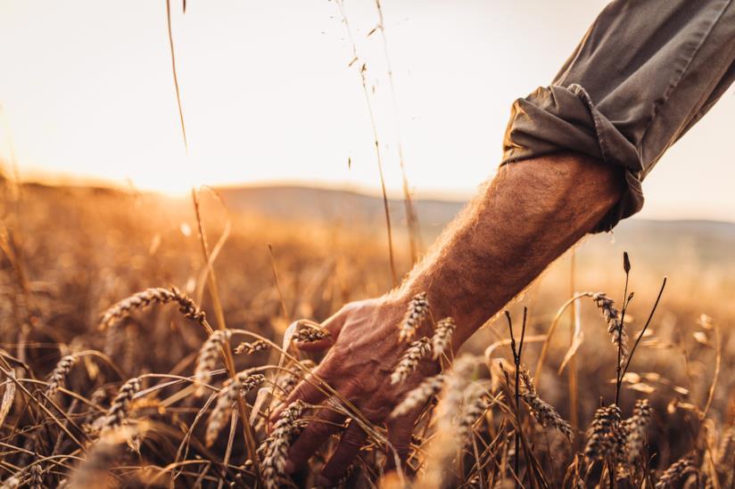 Un uomo accarezza spighe di grano