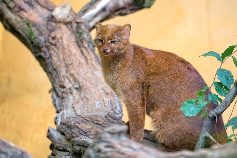 Puma yagouarundi su un tronco