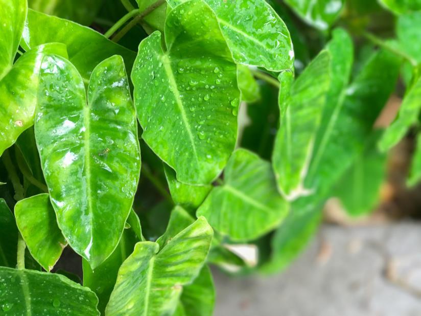 Philodendron domesticum
