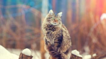 Primo piano di un Bengal Cat