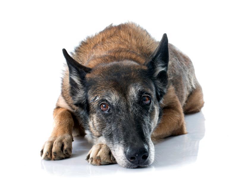 Un cane anziano sdraiato a terra