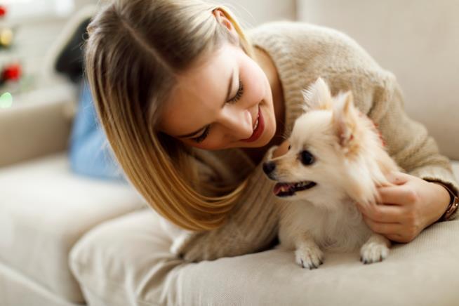Chihuahua sul divano con la sua mamma umana