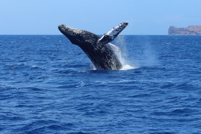 Una balena che salta nell'Oceano