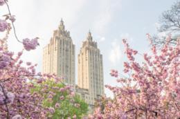 Primavera a New York, ciliegi in fiore tra i grattacieli