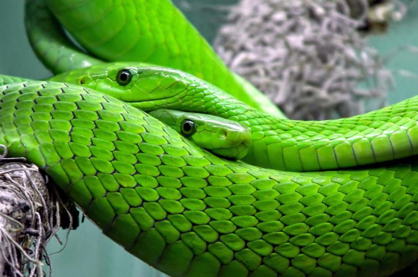 un serpente verde