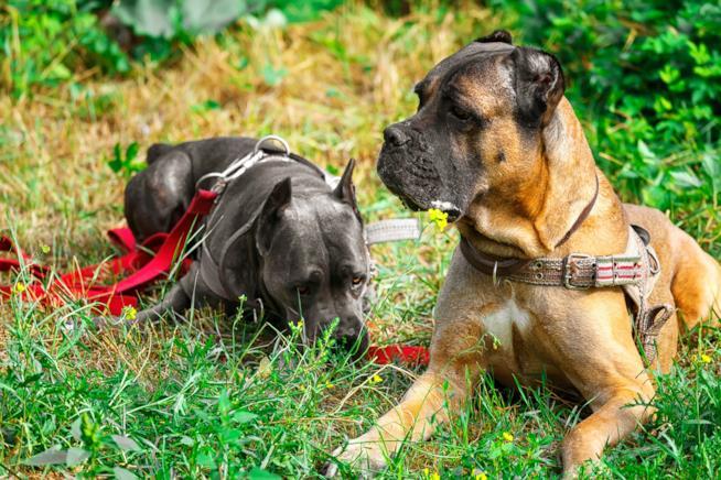 Due cani corso