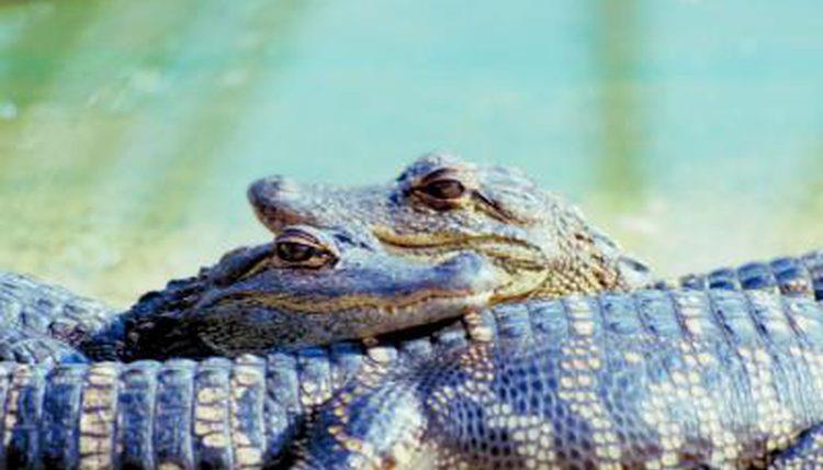 Cuccioli di alligatore sopra la loro mamma