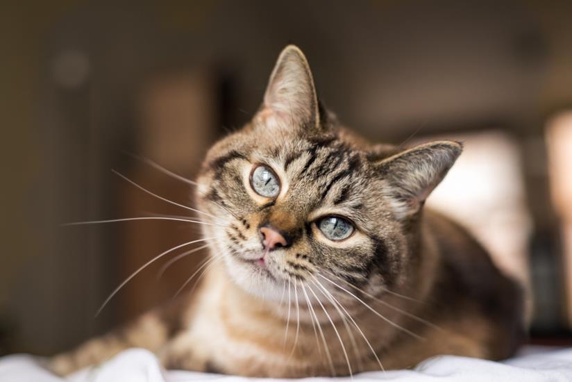 Un gatto che guarda l'obiettivo