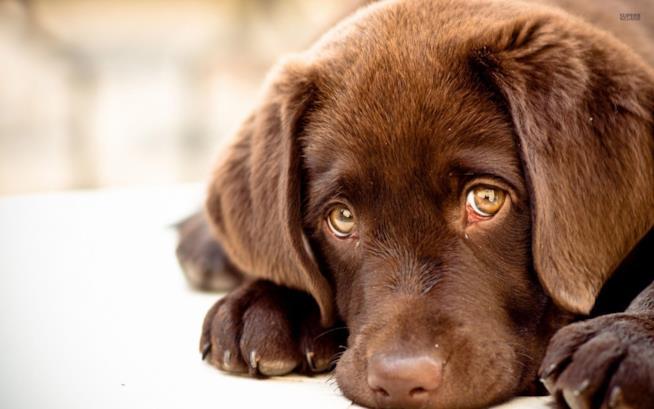 Un cane marrone dallo sguardo tenero