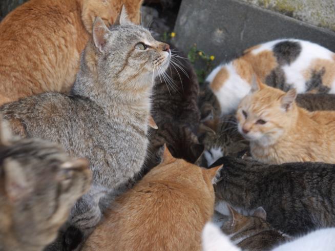 I gatti affamati dell'isola di Tashirojima ricevono gli avanzi