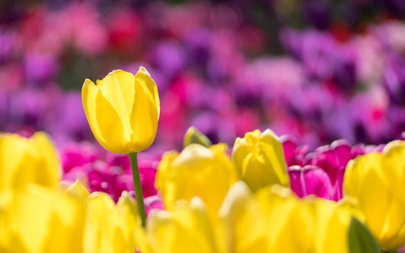Campo di tulipani gialli e viola
