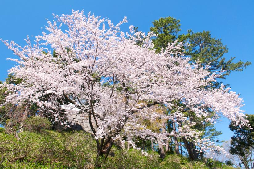 Un esemplare di Prunus x Yedoensis 'Somei-Yoshino'