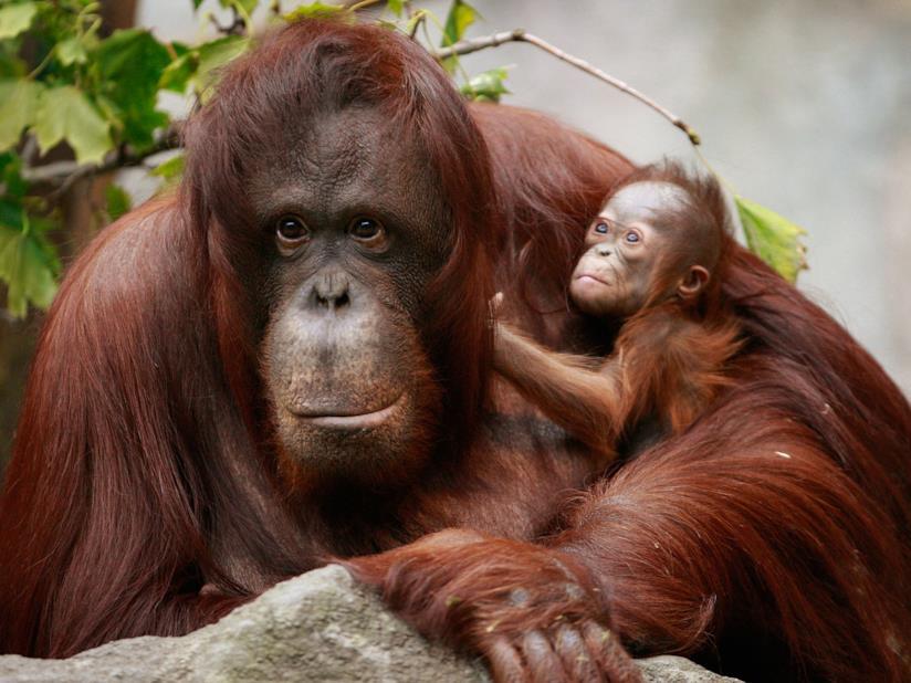 Un cucciolo di orango con sua madre