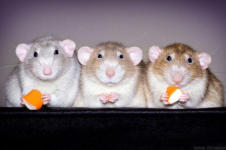 Tre topolini mangiano