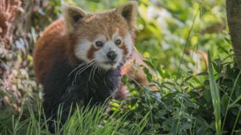 Il panda minore Koda