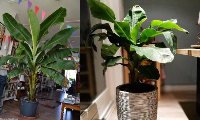 Musa ornata e Musa acuminata/paradisiaca Dwarf Cavendish