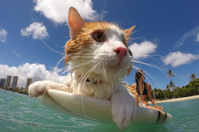 Il gatto che fa surf con la sua padrona