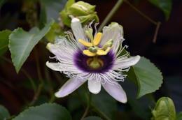 Una guida per imparare a coltivare la famosa pianta dall'azione calmante chiamata passiflora