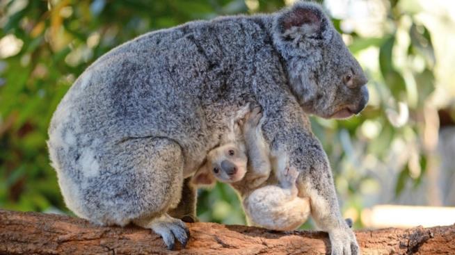 La cucciola di koala dell'Australian Zoo