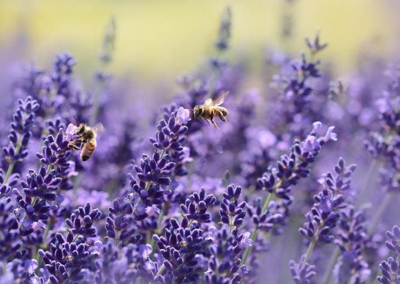 Lavanda e api