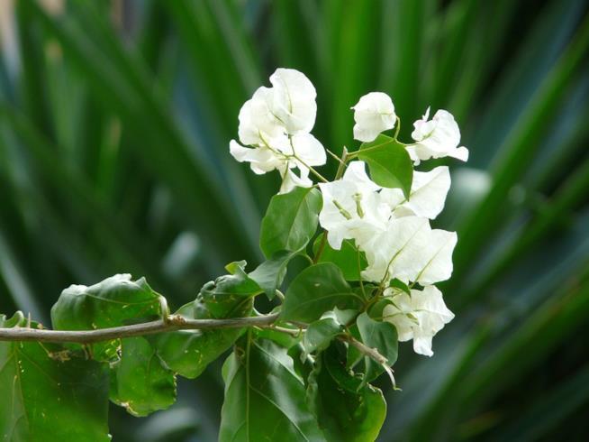Bouganville bianca