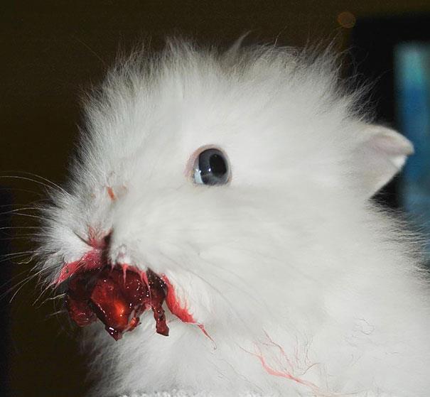 Un coniglio bianco sporco di succo di frutta