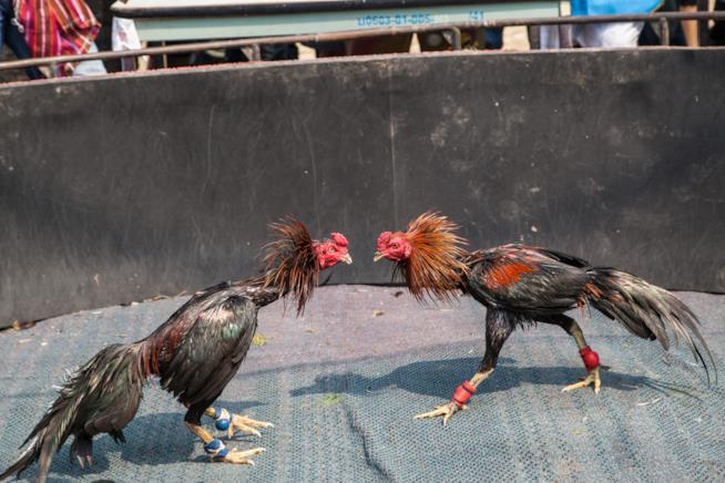 La lotta dei galli a Bali