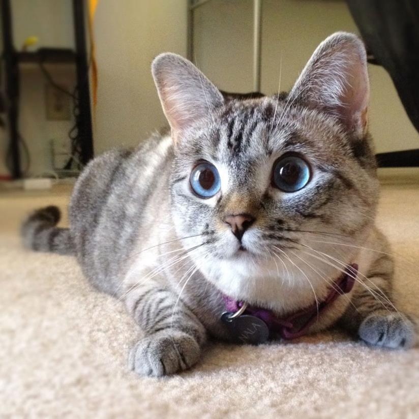 nala the cat web influencer