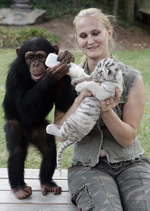 Scimpanzé a aiuta la donna ad allattare un cucciolo di tigre
