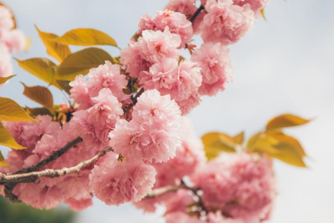 Fiori del Prunus serrulata 'Kanzan'