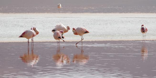 Fenicotteri in una laguna boliviana