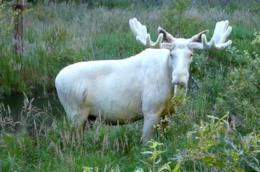 Un alce bianco in Svezia