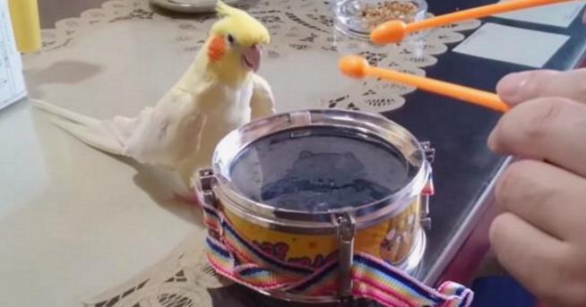 Un pappagallino che suona la batteria