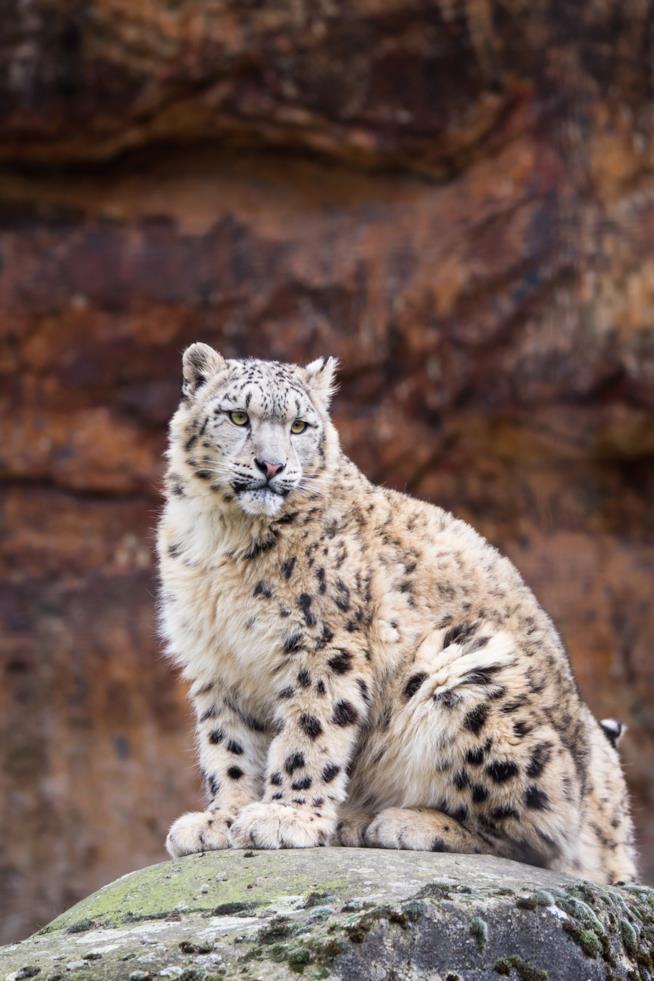 Il leopardo delle nevi vive tra le montagne innevate dell'Asia centrale