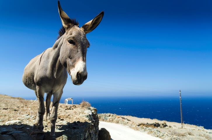 Simpatico asinello su una mulattiera di Folegandros