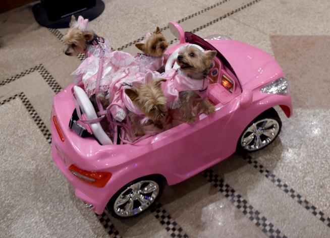 Della cagnoline in una macchina rosa.
