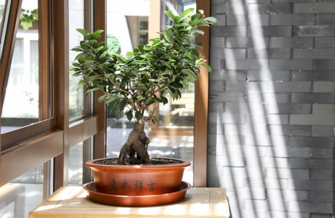 Le piante bonsai più popolari e resistenti