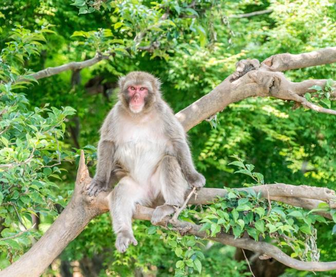 Il parco delle scimmie giapponesi all'interno della foresta di bambù di Harashyiama